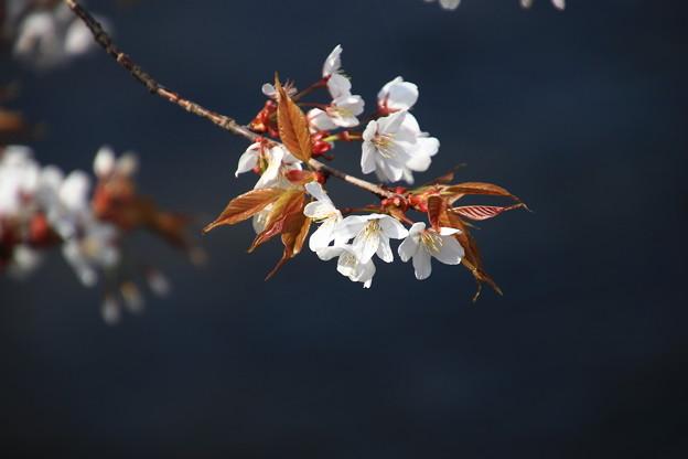 忍野八海の花 190423 03