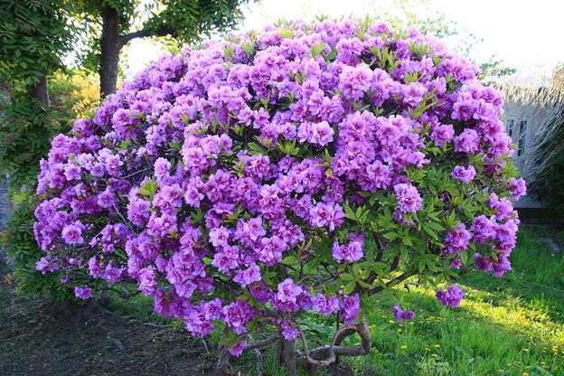 函館で出会った花 190513 03