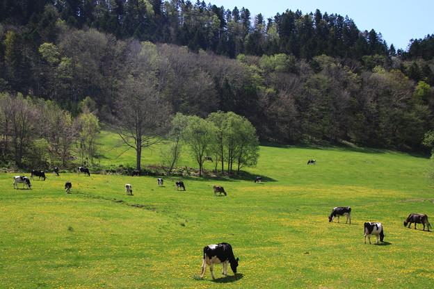 足寄の乳牛牧場 190519 01