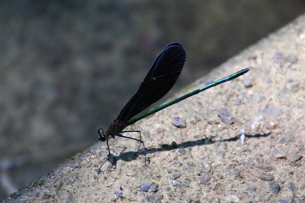 武蔵丘陵森林公園のトンボ 190807 02