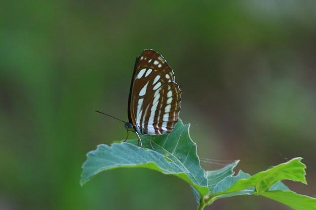 武蔵丘陵森林公園のチョウ 190807 02