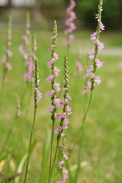 写真: 庭のネジ花