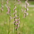 庭のネジ花