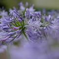 写真: 紫君子蘭