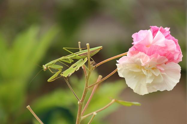 カマキリと花