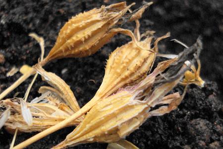 ビスカリア種まき