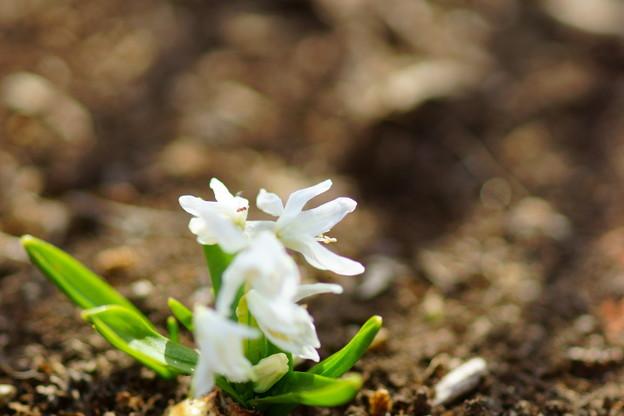 シラーシべリカ ホワイト