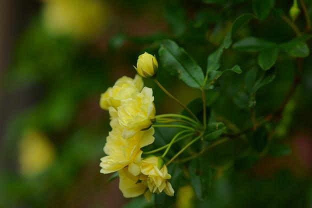 黄もっこうバラ