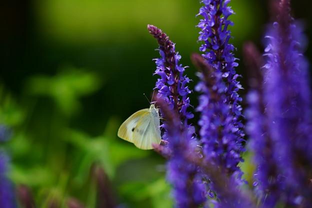 サルビアと蝶