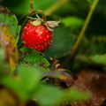 四季成りイチゴ