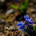 シラーシべリカ青花