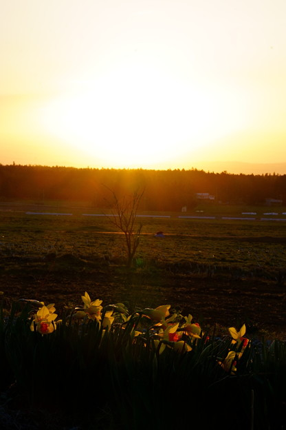 朝日と水仙