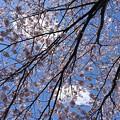 Photos: 桜模様