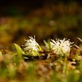 Photos: 白花の子