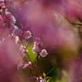 Photos: 庭桜