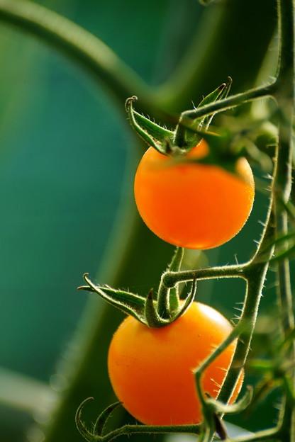 オレンジキャロル