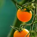 Photos: オレンジキャロル