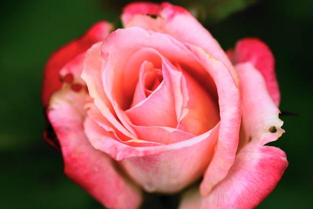 8月の薔薇