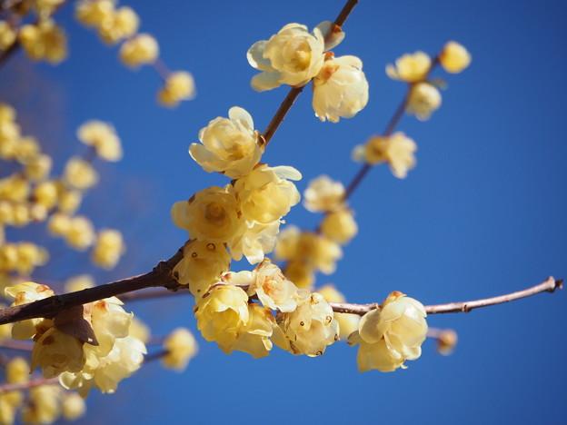 Photos: 蝋梅の香り