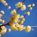 写真: 蝋梅の香り