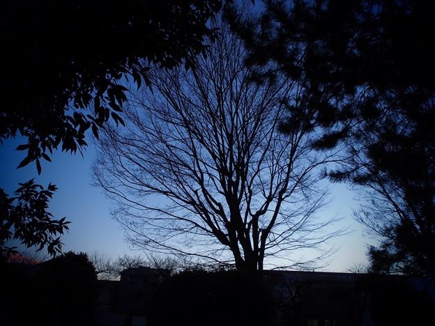 写真: 夕暮れの木