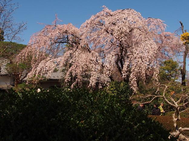 川越中院 枝垂れ桜2