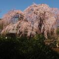 写真: 川越中院 枝垂れ桜2