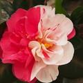 写真: 紅白の椿