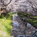 川越 新河岸川の桜2
