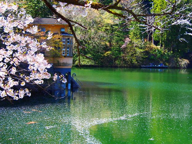 鎌北湖の桜