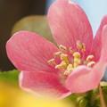 Photos: カリンの花