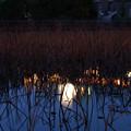 Photos: 不忍池に枯れた葦