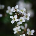 写真: 畦道の春 01/20 タネツケバナ