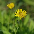 写真: 畦道の春 03/20 オオジシバリ