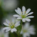 写真: 畦道の春 05/20  ハコベ(コハコベ)