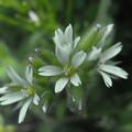 写真: 畦道の春 06/20 オランダミミナグサ