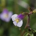 写真: 畦道の春 11/20 トキワハゼ