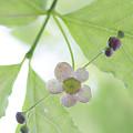 写真: ツリバナの若葉と花