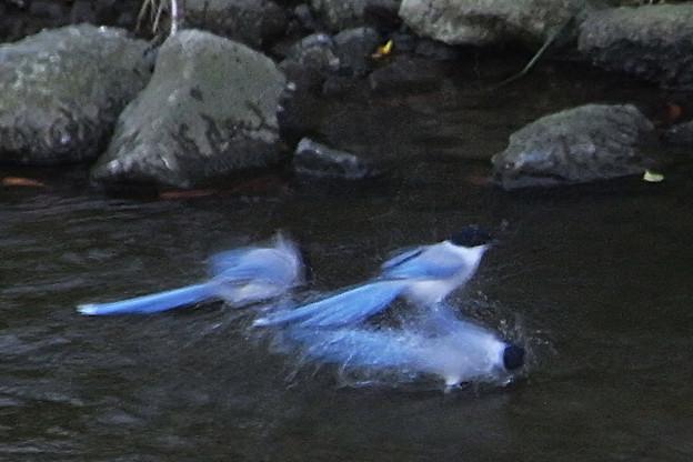 尾長の水浴び 2