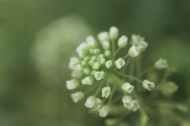 写真: 早春-ナズナ