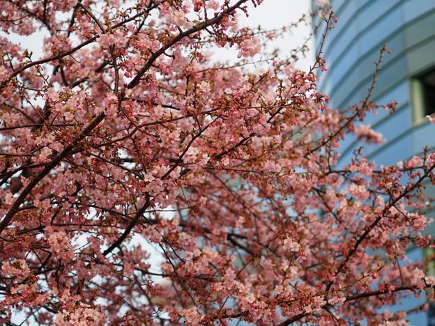 Photos: 中山競馬場 桜3