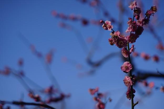 Photos: 梅の終わり
