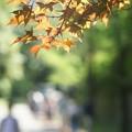 初夏の紅葉
