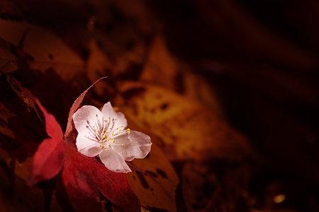 落葉に咲く