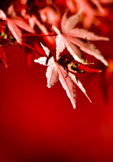 陽の当たる紅葉