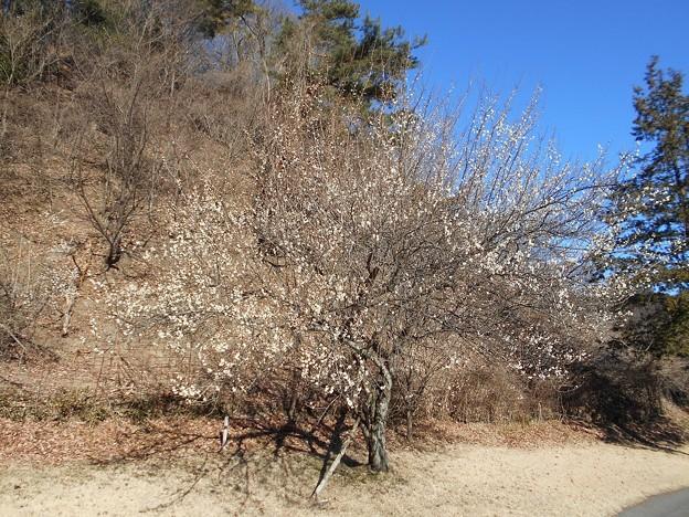写真: 足利城ゴルフ倶楽部7番ティーグラウンド脇の梅の木
