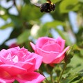 Photos: ぶんぶんぶん! 蜂が?飛ぶ♪