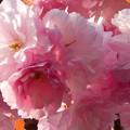 Photos: 牡丹桜の咲くころ♪