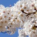 千光寺山の桜2014.4.1