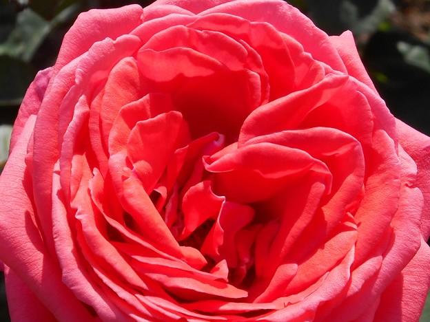 艶やかに咲く大輪の薔薇 in 福山ばら祭2014